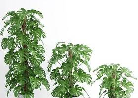现代龟背竹盆栽组合3D模型下载 现代龟背竹盆栽组合3D模型下载