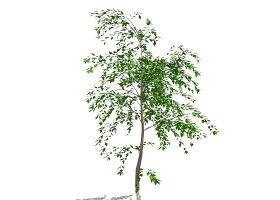 3D植物树SU模型下载 3D植物树SU模型下载